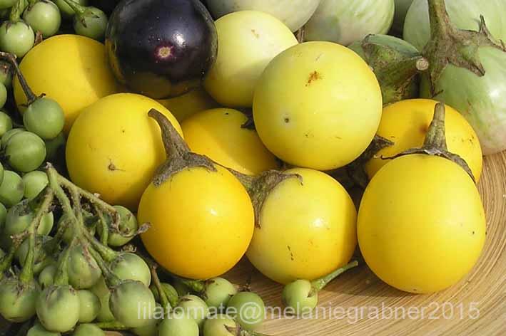 Aubergine 'Gelbe Aubergine'